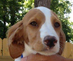Adopt_Brittany_Puppy_Blue_1