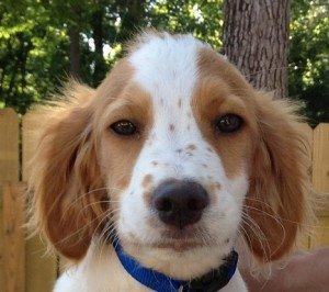 Adopt_Brittany_Puppy_Brutis_1