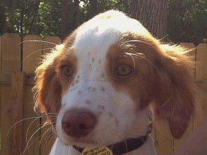 Adopt_Brittany_Puppy_Waffle_1