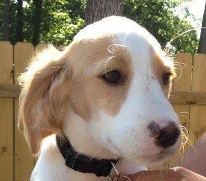 Adopt_Brittany_Puppy_Winnie_1