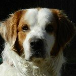 Adopt_Chase_Brittany_Spaniel_Texas_1