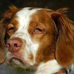 Adopt_Dyson_Brittany_Spaniel_Texas_1