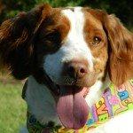Adopt_India_Brittany_Rescue_Texas_1