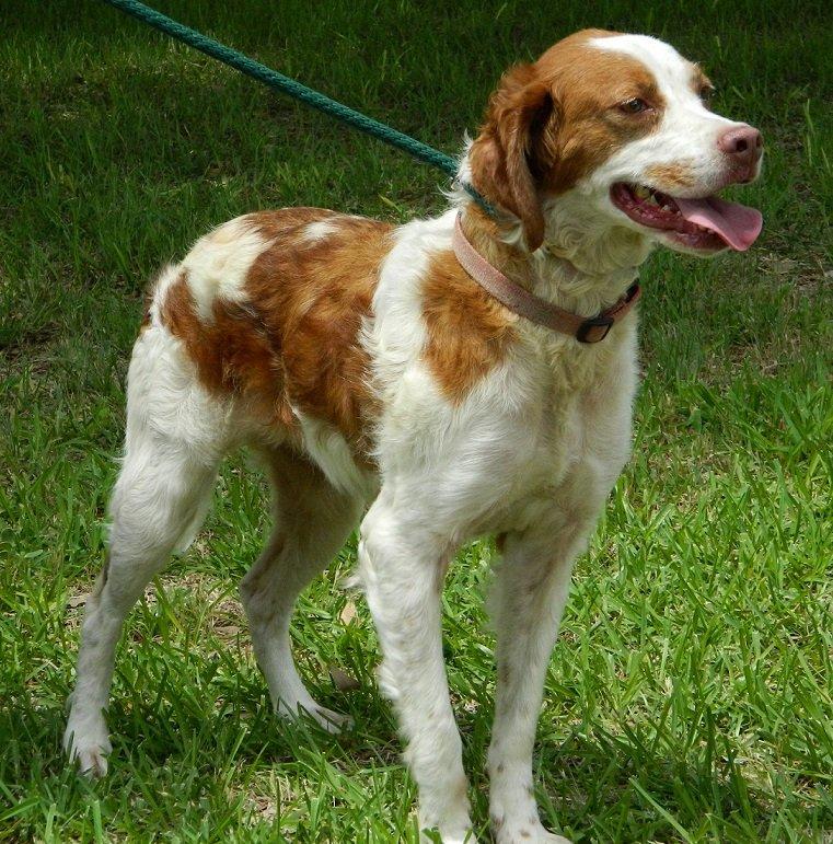 Adopt Missy BRIT Rescue TX