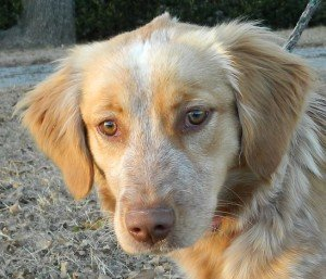 "My name is ""Zoey."" Don't you think I'm pretty darn adorable? Okay, sure I'm blended with a little something else – but my Mom is a purebred Brittany – I don't know about my Dad (I never met him). Some folks think he might have been a Heeler – we just don't know. But what we do know is that I am the sweetest puppy ever☺  I really want a family of my own, one that will love me forever and let me blossom and grow to the best Brittany ever. I am a normal Brittany puppy, 7 months old and full of energy and affection. I love to play, do you like to play too? Maybe we can be best friends.  Zoey is just now going into her foster home – so please stayed tuned for updates on her personality.  Zoey is up to date on her shots and she has been spayed and microchipped. She needs to spend at least a week or two in her foster home. We want a chance to get to know her so we can place her in the very best forever home. She's a special little girl so don't delay in filling out your application!"
