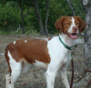 Adoption-dog-Britney-girl-1