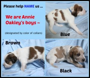 Annie O '16 - puppies - 2nd collage of boy puppies  8-18-16