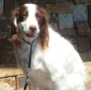 Archie-Brittany-Spaniel-Adoption-1