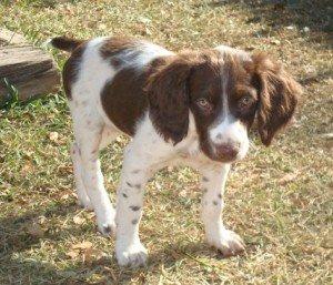 BRIT-Brittany-Dog-Rescue-Gracie-1