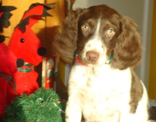 BRIT-Brittany-Dog-Rescue-Gracie-2