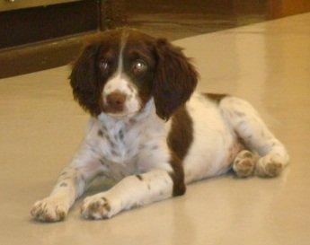 BRIT-Brittany-Dog-Rescue-Gracie-3
