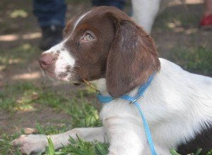BRIT_Brittany_Dog_Rescue_Harper_1