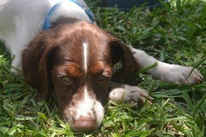 BRIT_Brittany_Dog_Rescue_Harper_3