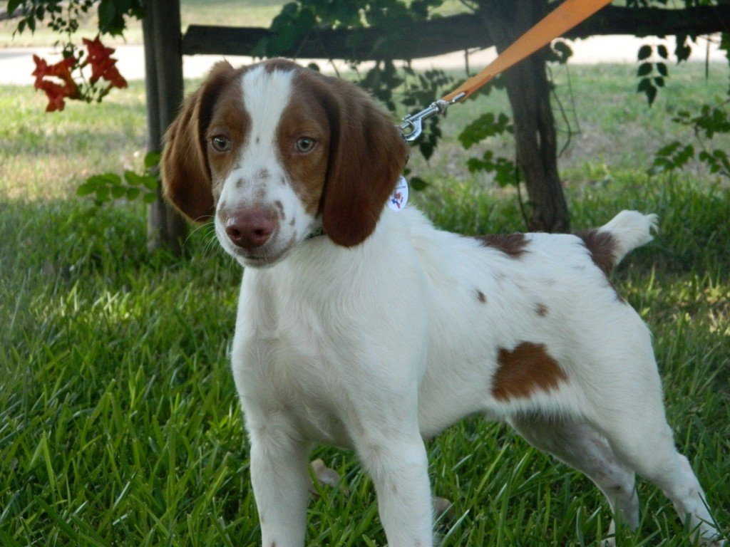BRIT_Brittany_Dog_Rescue_Landry_2