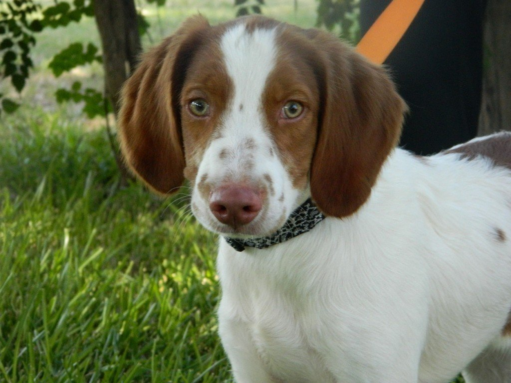 BRIT_Brittany_Dog_Rescue_Landry_3