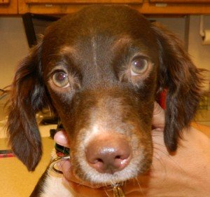 BRIT_Brittany_Dog_Rescue_Tibby_1