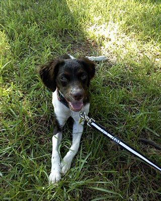 BRIT_Brittany_Dog_Rescue_Tibby_4