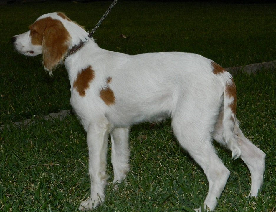 BRIT_Brittany_Rescue_Texas_Clyde_3