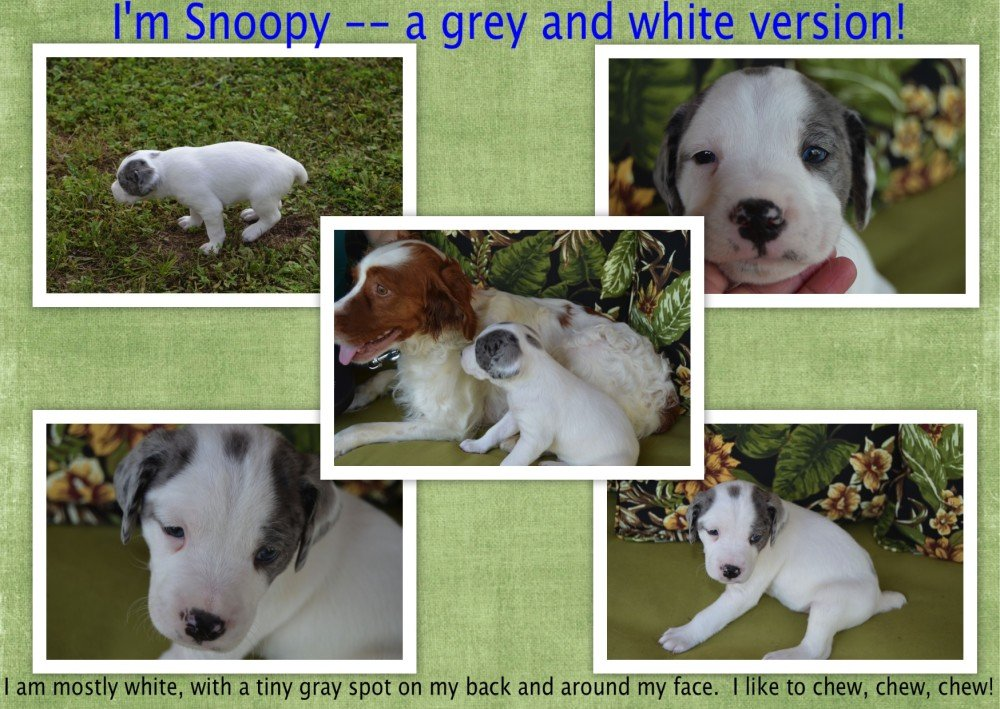 BRIT Puppy Adoption Snoopy