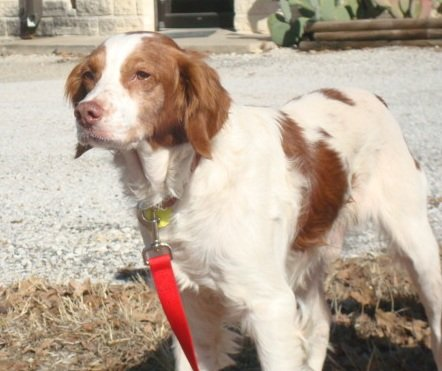 BRIT_Rescue_Dog_Freckles_2