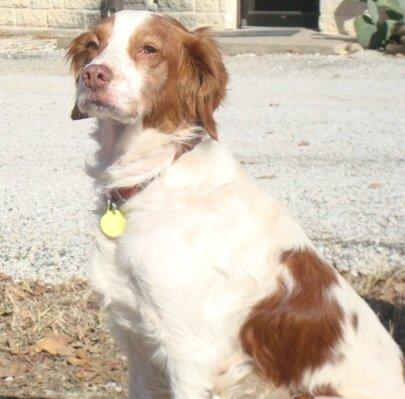 BRIT_Rescue_Dog_Freckles_3