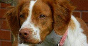 BRIT_Rescue_Dog_Lucy_1