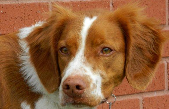 BRIT_Rescue_Dog_Lucy_2