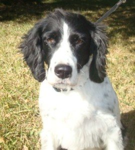 BRIT_Rescue_Dog_kilo_1