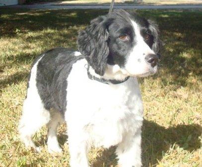 BRIT_Rescue_Dog_kilo_3