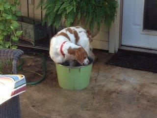 Bandit in the water bucket 6-23-12
