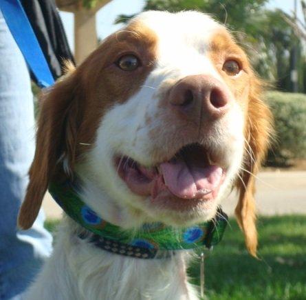 Brittany-Dog-Adoption-Oscar-2
