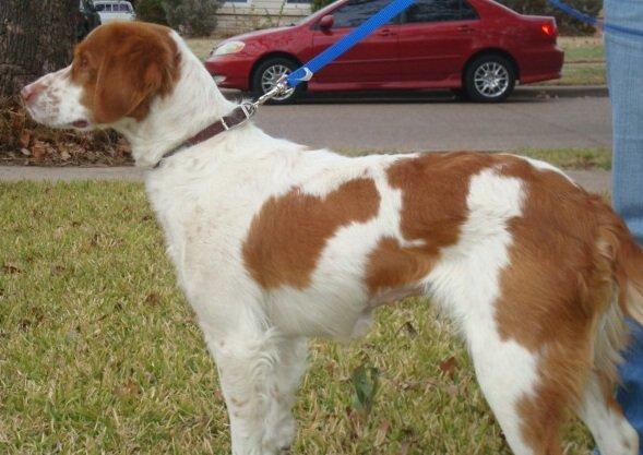 Brittany-Dog-Rescue-Texas-Ellie-2