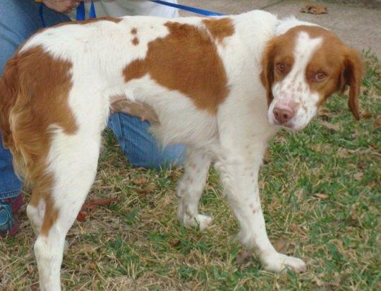Brittany-Dog-Rescue-Texas-Ellie-3