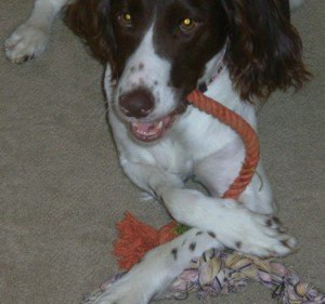 Brittany-Spaniel-Adoption-Coco-1