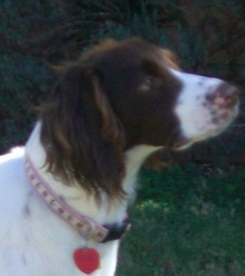 Brittany-Spaniel-Adoption-Coco-2