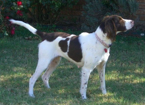 Brittany-Spaniel-Adoption-Coco-3