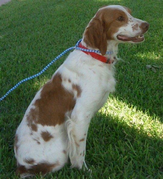 Brittany-dog-rescue-bandit-1