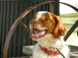 Brittany_Animal_Rescue_Cheeto_1
