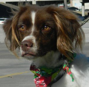 Brittany_Rescue_Texas_Dandy_1
