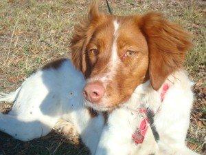 Brittany_Rescue_adoption_Bella_1