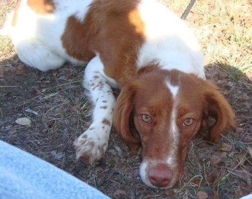 Brittany_Rescue_adoption_Bella_3