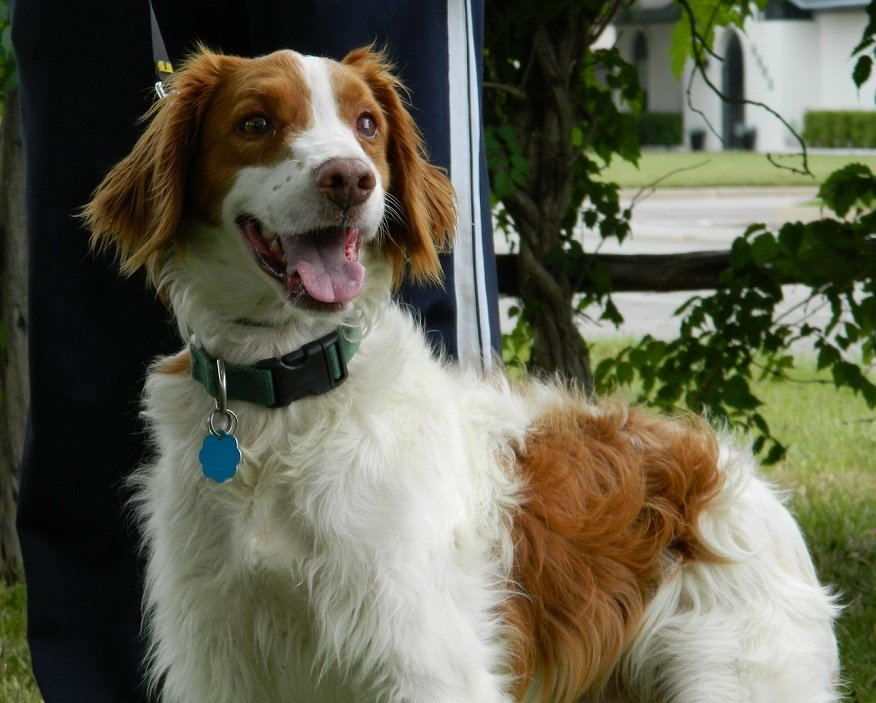 Brittany_rescue_Rusty_2