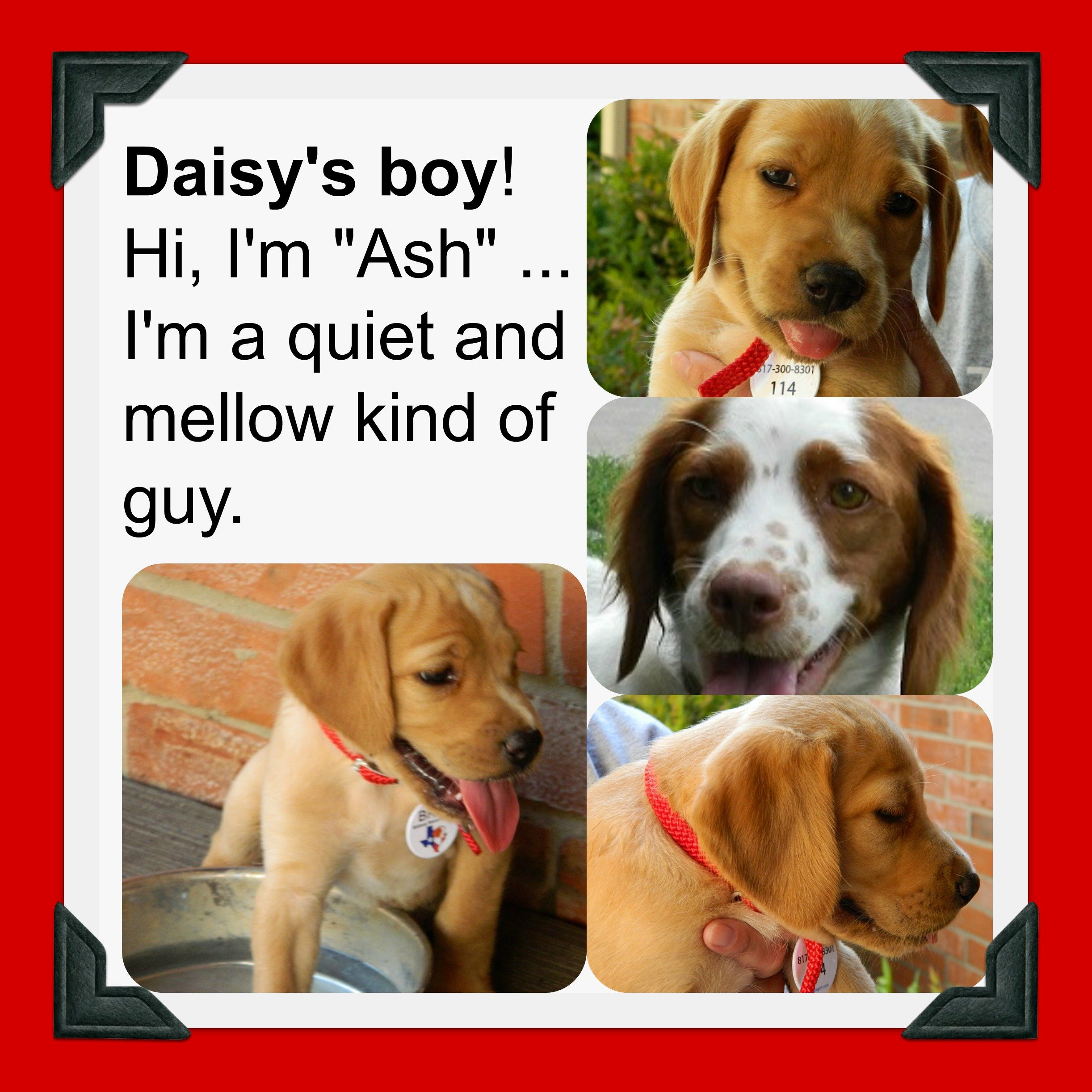 DAISY '14 - website puppy - Ash  7-13-14