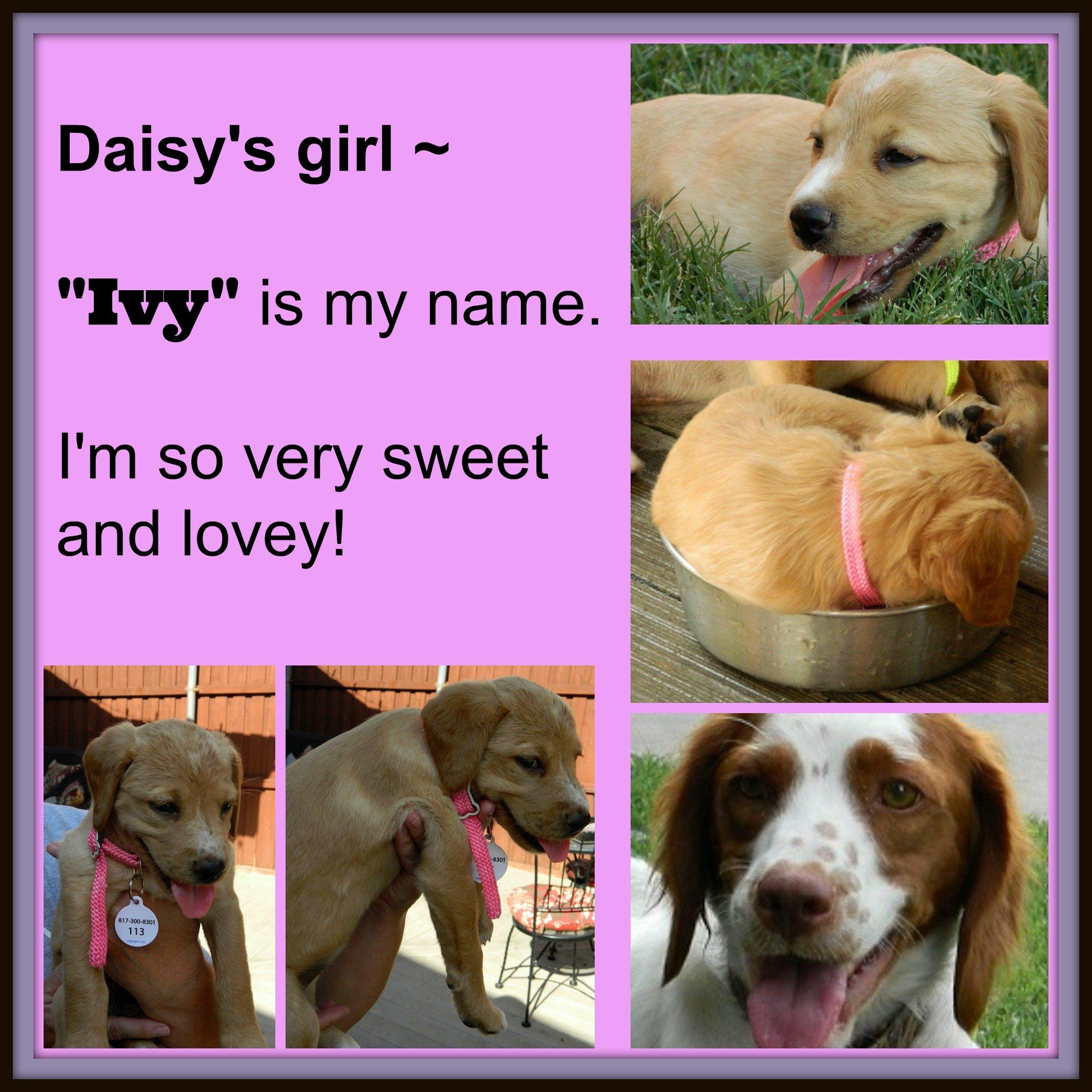 DAISY '14 - website puppy - Ivy  7-13-14