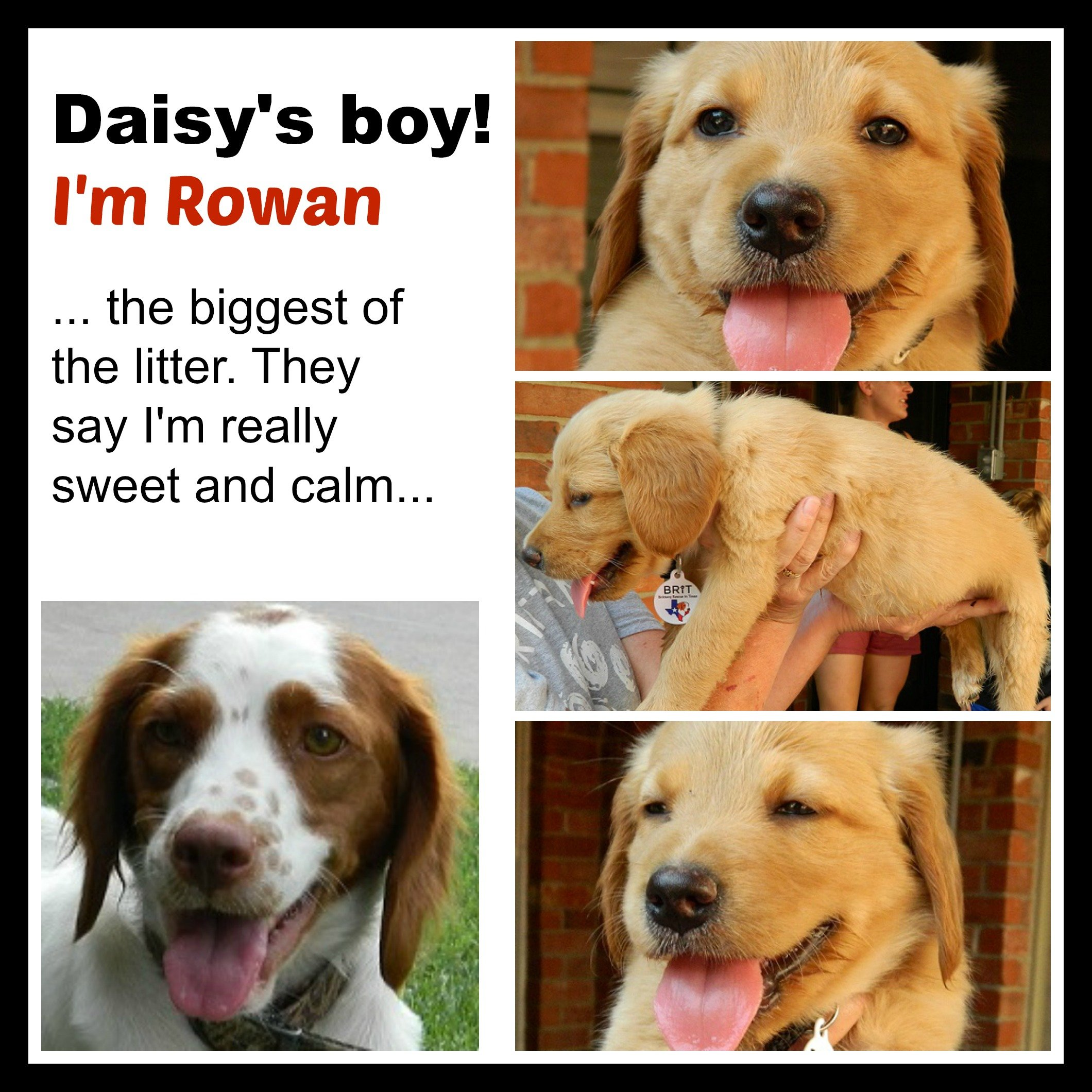 DAISY '14 - website puppy - Rowan  7-13-14