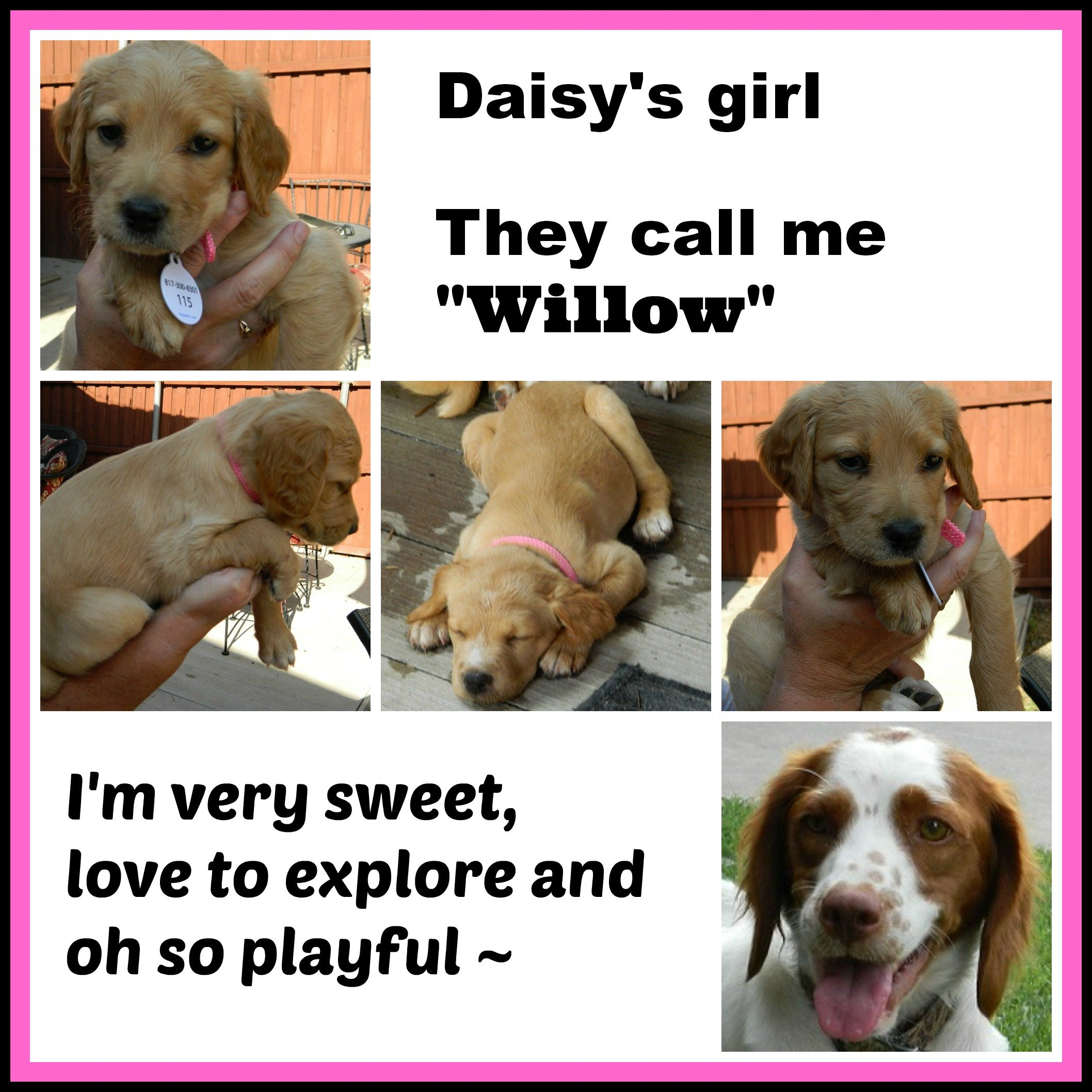 DAISY '14 - website puppy - Willow  7-13-14