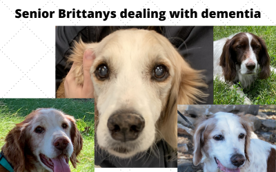 How to recognize dementia in your Brittany