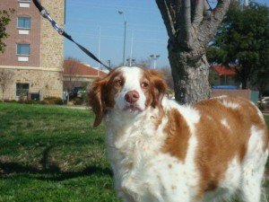 Dixie Brittany for Adoption