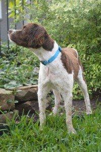 Gelato x1 Brittany Rescue Adoption