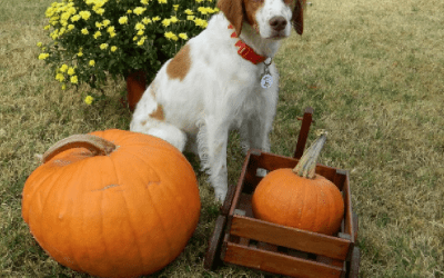 Can my Brittany eat Pumpkin?